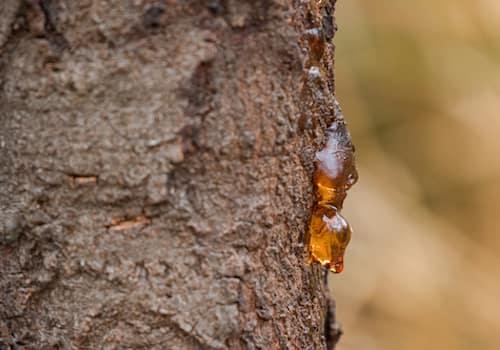 Sap on tree