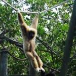 Monkey at Naples Zoo