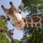 Giraffe looking down