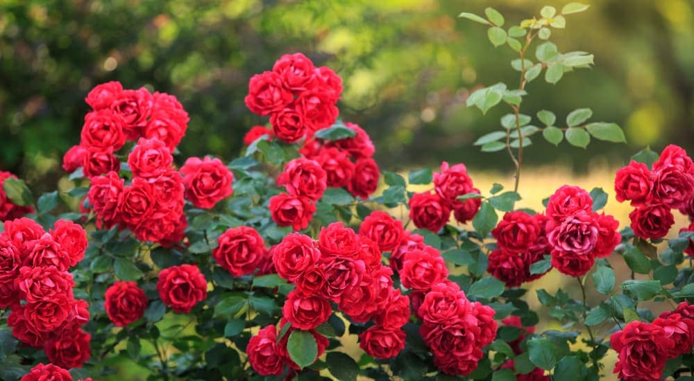 A bush of red roses.