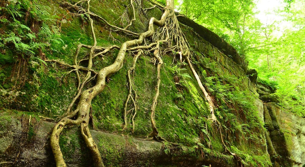 Tree roots are shown growing up a stone wall in Nelson-Kennedy Ledges State Park in Ohio.