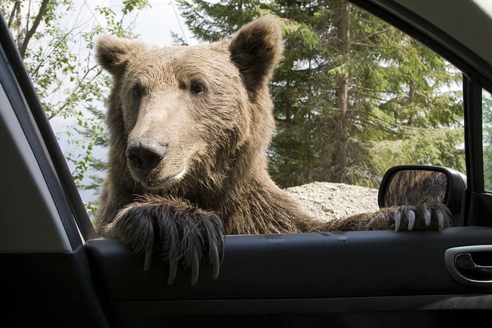 Wild Bear on Car Window
