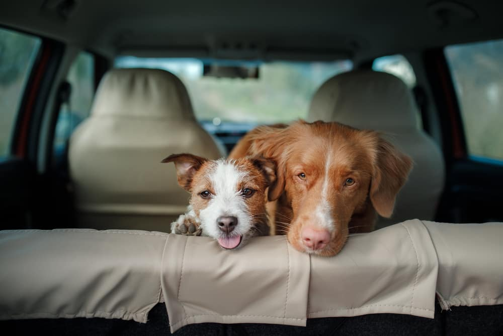 Two dogs looking out of the cargo space of an SUV